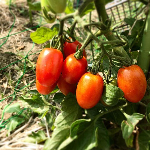 トマトの育て方