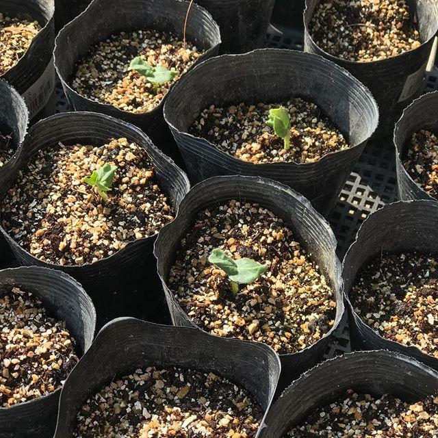 オクラの種まきから3日。芽がどんどん出てくる。#オクラ #発芽 #種まき #6月の種まき #7月の種まき