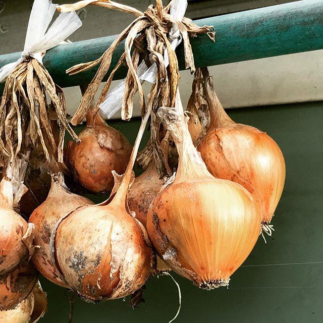 玉ねぎの保存は、風通しの良い日陰に。よくガレージや軒下にぶら下がっていますよね。湿気が多いとカビて、日向では乾いてしまい、冷蔵庫では腐ってしまいます。玉ねぎは栄養もあり、どんな料理でも使え、長期保存できる優秀な野菜ですね。
