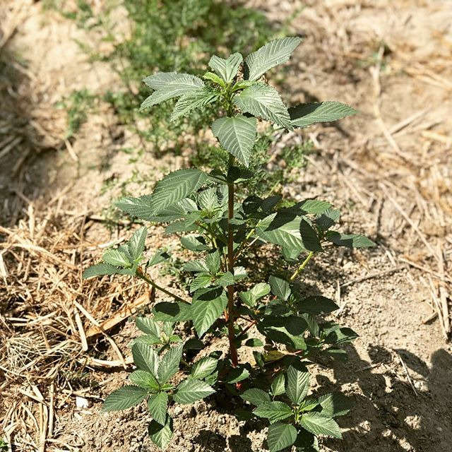 夏の暑さを喜ぶモロヘイヤ :原産地はアフリカ北部からインド西部なので暑さには特に強く、アラビア語で「王様のもの」と呼ばれる栄養価の高い野菜です。この酷暑をはねのけて成長する、なかなか強靭な野菜です。
