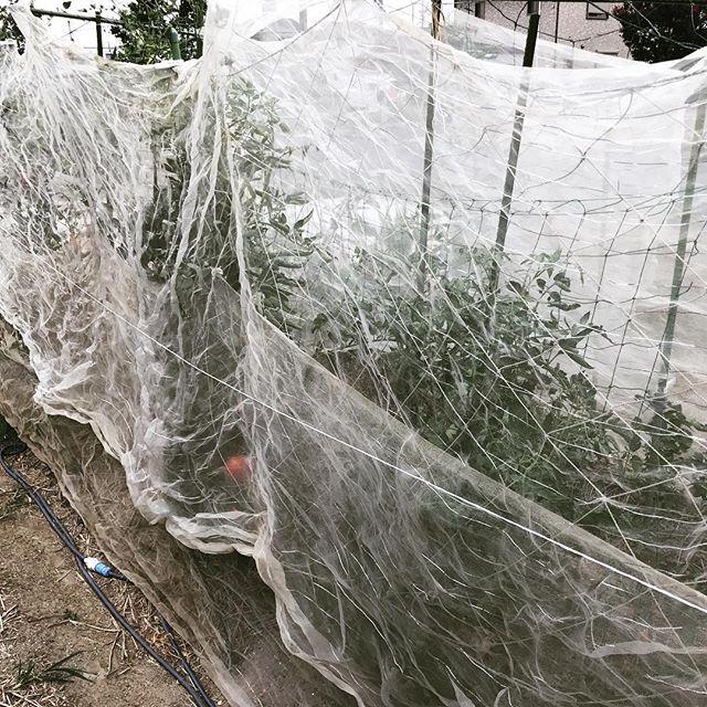 台風対策のために防虫ネットをかける。風が弱められることと、支柱の代わりとなって枝や幹が煽られるのを弱めることができる。