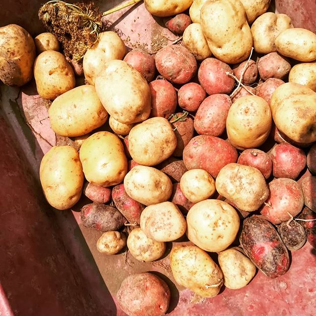 酷暑ですが、じゃがいも収穫!  男爵、キタアカリ、インカ、デストロイヤー  どれも色がいい!