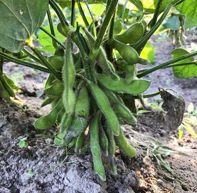枝豆/大豆が数珠なり:枝豆が美味しそうに育ってきた。ぷっくりとした房が数珠なりでぶら下がっている。肥料要らず、太陽と多少の水があればグングン育っていく。たくましい。そろそろ枝豆で少しいただいて、残りはこのまま乾燥させて大豆に。秋になると虫が発生してくるので要注意。 追肥不要 8月の収穫