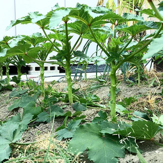 オクラの整枝/剪定。下葉は風通しと成長のためにスッキリと切り落としてしまいましょう。