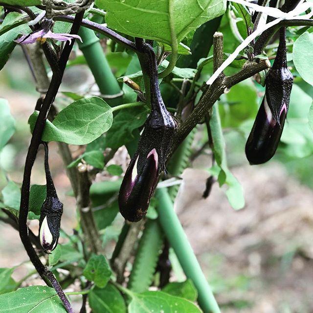 秋ナスが実をつけ始めました。あんなにガツンと切り戻しをしたのに、元気に伸びています。植物の生命力は素晴らしい!