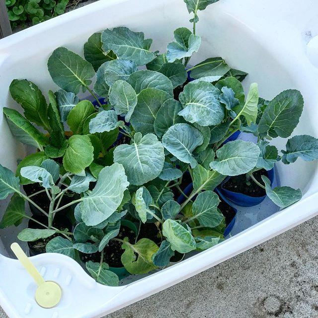 苗を植えるとき、先に苗を水に浸しておくと良い。根の張りが違うそうだ。ちなみにオケではなくベビーバスを再利用w