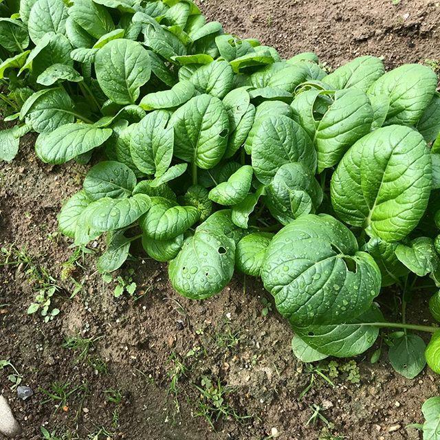 小松菜がモコモコ生えてます!今年は虫にあまり食われず順調です。間引きしながら抜き菜を野菜ジュースに入れて毎朝飲んでいます。