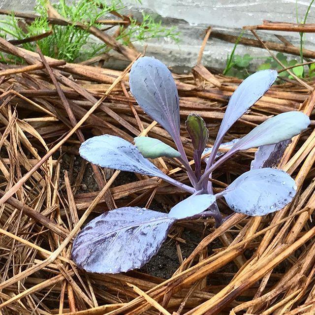紫キャベツの苗植え。キャベツが虫にやられてしまったため、植え替え。紫キャベツはサラダの彩りにもなる。ハロウィンには間に合わないw