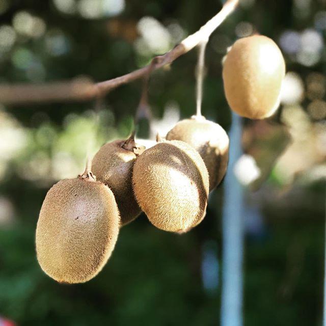 キウイの収穫。10月下旬から11月にかけての収穫。手でパチンパチンと摘むだけです。今年は120個くらい。剪定と肥料が大切ですね。