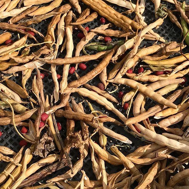 小豆を乾燥中。小豆はササゲの仲間。小豆は一気に枯れるわけではなく徐々に枯れていくので、枯れた順に収穫していく手間がかかる。でも赤茶色の美しい豆がこの房から出てくる姿を見ると、まるで宝石のようだ。