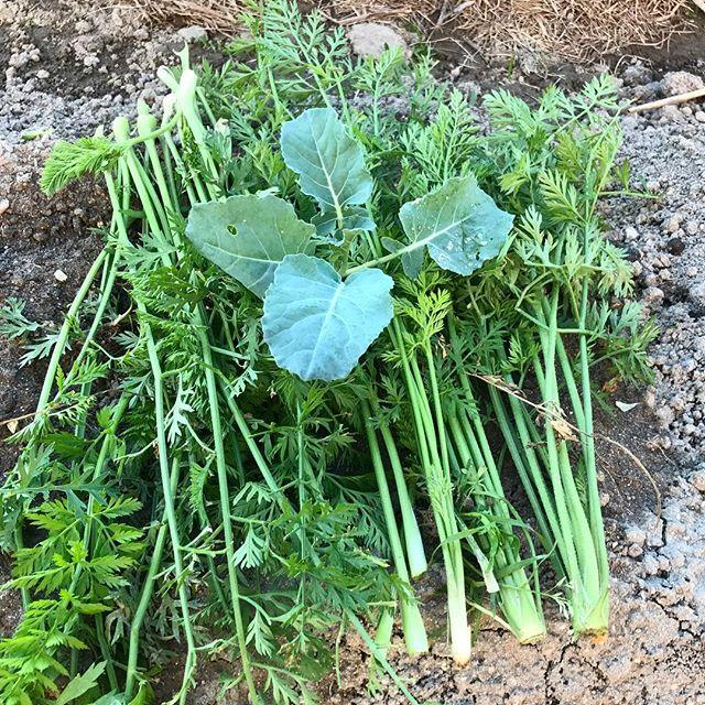 ニンジンの葉で草マルチ。冬は乾燥防止と土の保温のために。