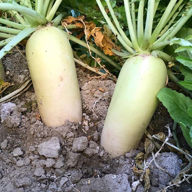 冬といえば大根! 陽に当てるように栽培すれば青首大根に!