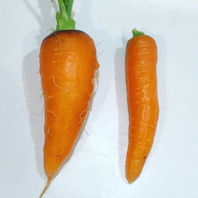 極太ニンジンを収穫。 長さは両方共に15cm。 太さは6cmと3cm。 重さは250gと100g。