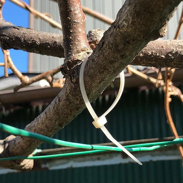 キウイの剪定に必須な「結束バンド」。でも何も縛ってない…この目印がないと安心して枝が切れないのです。