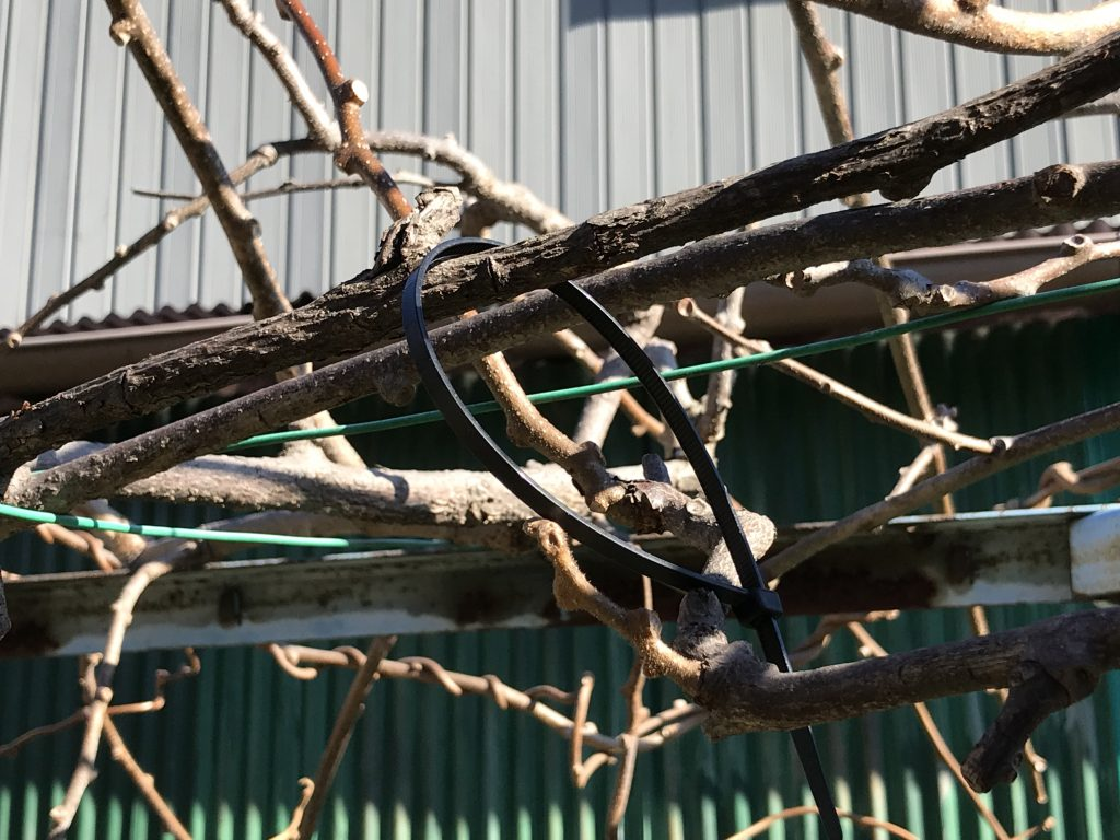 キウイの剪定:雄の木、雌の木をわかるようにしておく(黒は雄にした)
