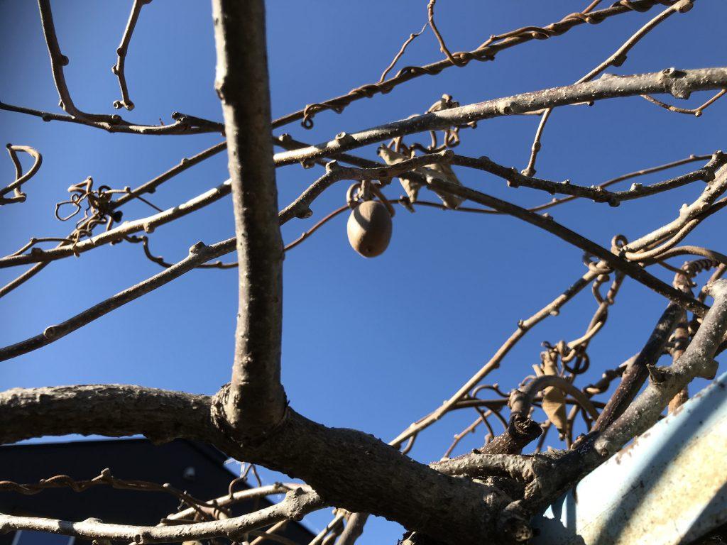 キウイの剪定:キウイ収穫の忘れ物