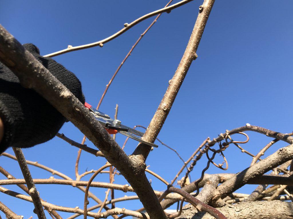キウイの剪定:上の伸びた枝