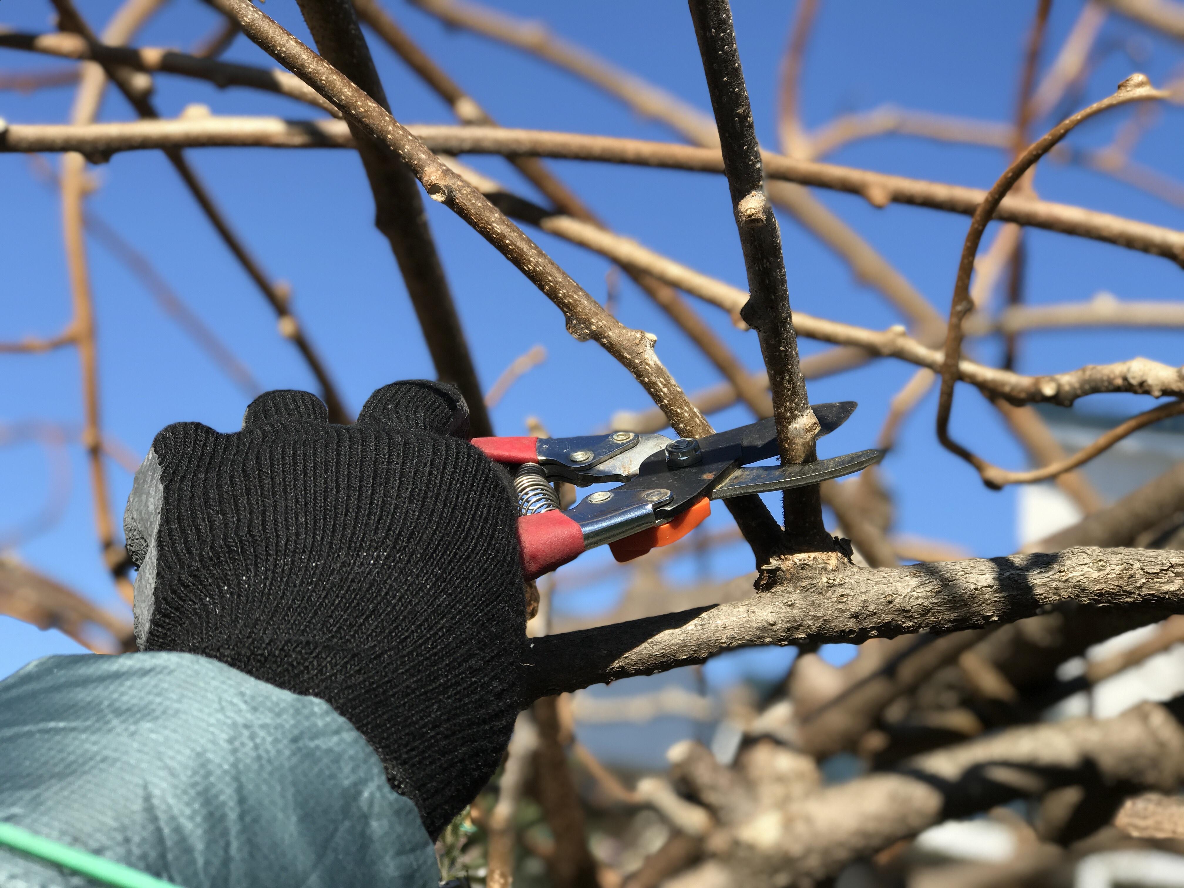 キウイの剪定:上向きの枝は切る
