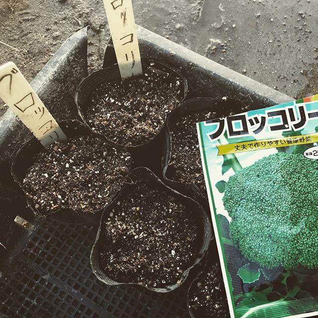 ブロッコリーの種まき ポッドに種を数粒入れて発芽を待つ。 3月は、ブロッコリーの収穫時期でもあり、ブロッコリーの種まき時期でもある。