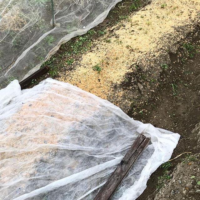 【ニンジンの種は、光と水】 雨上がりの翌日にニンジンの種を蒔き、籾殻で覆い、不織布を被せる。これで光と水の条件が整い、種は芽を出す。