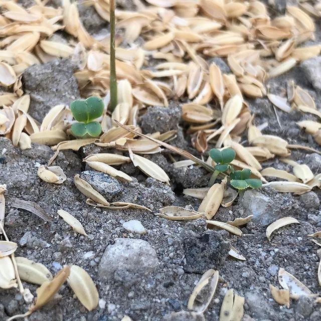 水菜の種まき&発芽。 こちらは籾殻で覆って保湿。まだまだ30度の日が続くので。
