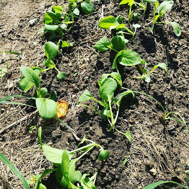 間引き後の小松菜。 なんだかグッタリw 少し土を寄せてあげたのですぐにシャキッとするでしょう。 は野菜ジュースに。