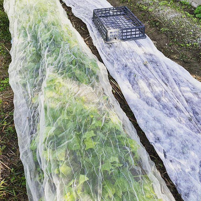 ほうれん草の収穫と種まき。まだまだ虫も多いのでネットが必須。隣では不織布で覆って保湿し発芽を待つほうれん草。