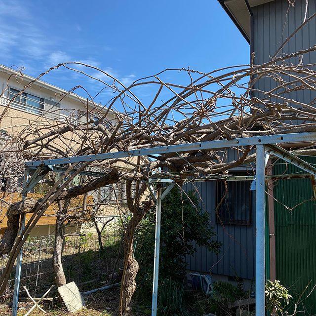 【2020年のキウイフルーツの剪定】 2019年の冬は超暖冬でだったこともあり、なんとなく剪定の時期を逃してしまいました。 あれよあれよと三月になり、春が来る前に剪定をしなければと急いで実施をしました。 昨年の収穫は5個だったので…オスメスを切り間違えたのかな…と、ドキドキしながら…