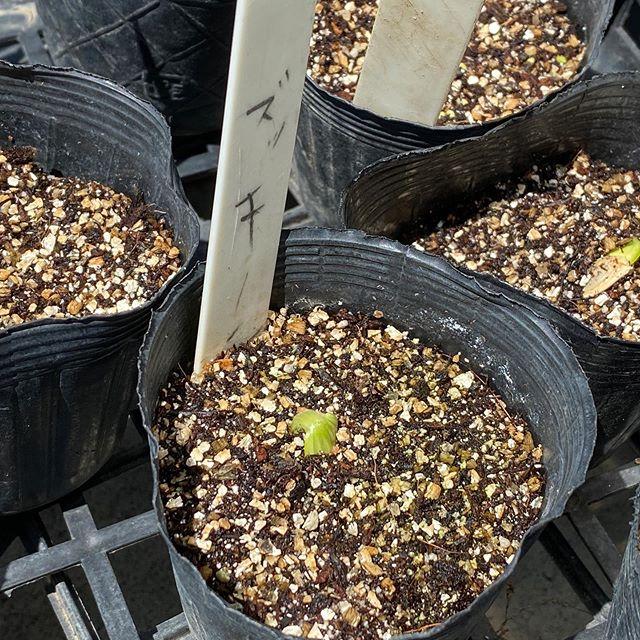 ズッキーニの発芽。今年こそは大量に収穫するぞ〜!(気持ち先走りw)