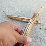 オクラのタネを採種。 サヤを最後まで残しておきすっかり枯れたものを採っておきました。タネがいっぱい出てきます〜 さて植えるぞ〜