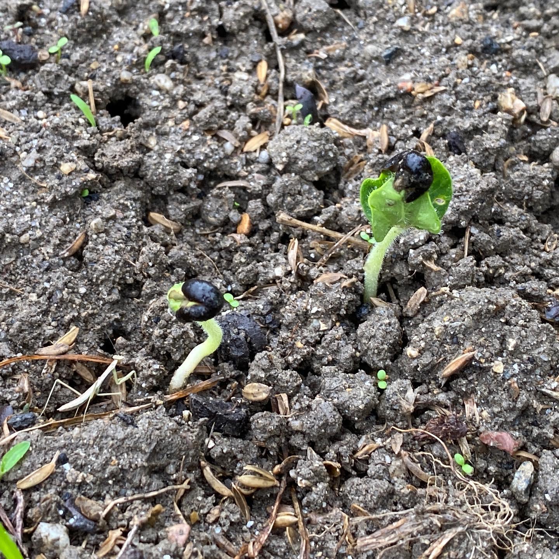 オクラの発芽に失敗しないためには、種を1日水に浸しましょう。根が出てきたくらいから畝に直播きして、充分に水を与え続ければ4ー5日で発芽します。梅雨前がオススメ。 網をかけて雨で流れないようにするとベスト。 網をとったらカマキリの赤ちゃんがいましたかわいい〜 #オーガニック栽培