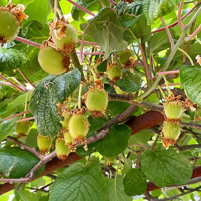 今年のキウイフルーツの受粉は大成功。かなりたくさん実をつけています!
