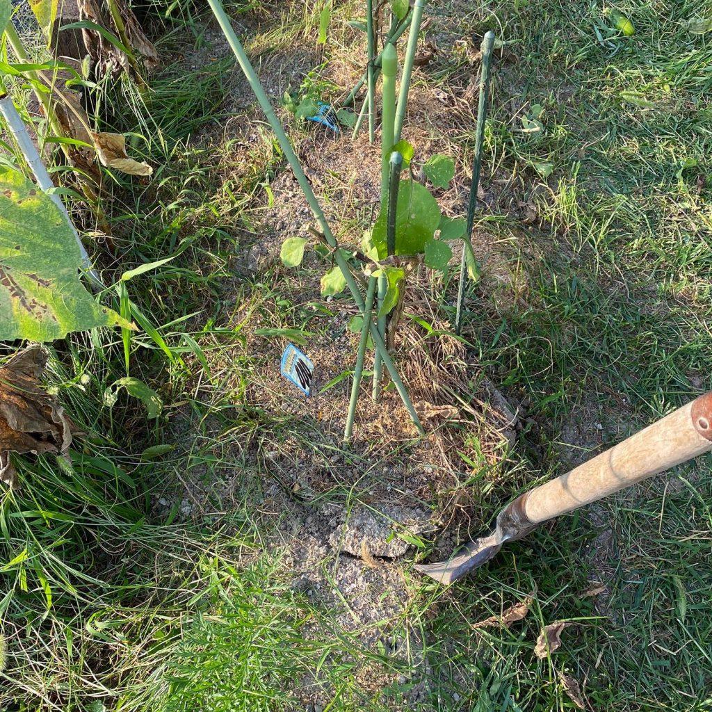 ナスの切り戻しは、8月に入ってからすぐに。枝分かれから一つ分の葉を残してバッサリと切り落としましょう。あまりに大胆で最初は躊躇するかもしれませんが、大丈夫ですよ。切り終わったら株から30cmくらいの場所にスコップを入れます。新しい根を伸ばすために古い根を切ります。その切れ目に肥料をあげて、あとは雑草マルチで覆います。これであとは猛暑の中で水やりを忘れなければ、1か月後には秋ナスが実っているはずです。