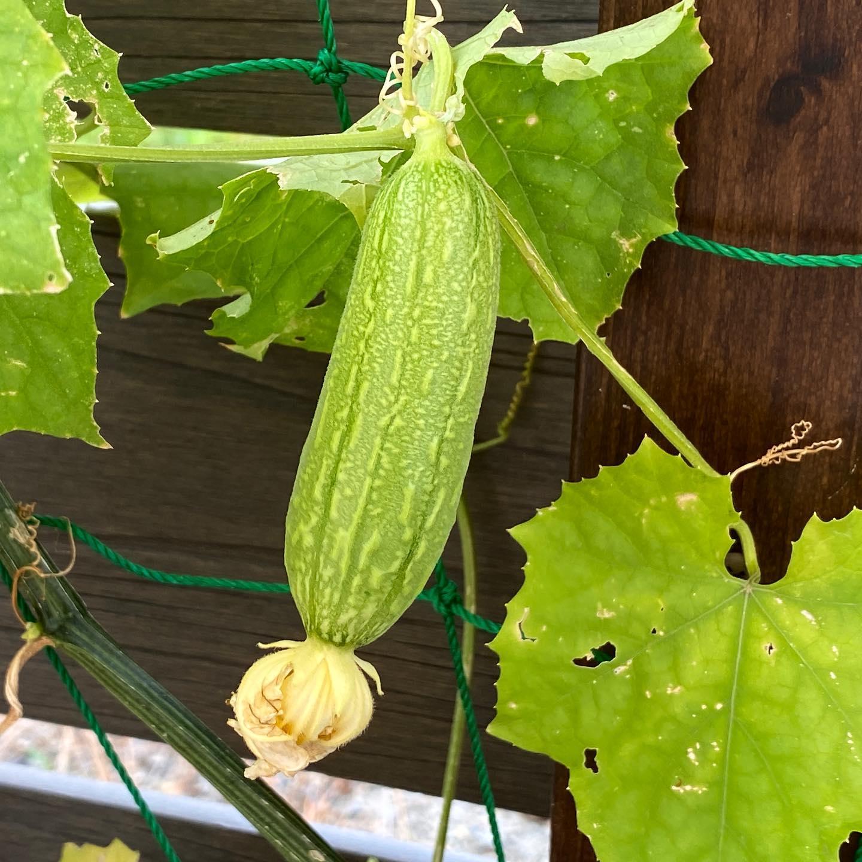 ヘチマの受粉が成功! といっても自家受粉ではなく、毎朝やってくる熊蜂さんのお手柄。受粉失敗の雌花もたくさんありますが、実った姿を見ると嬉しいですね。 なかなか雨が降らないので水やりをしっかりと。肥料切れにもならぬように。花がたくさん咲いて実をつけるためには、水と肥料が必須です!