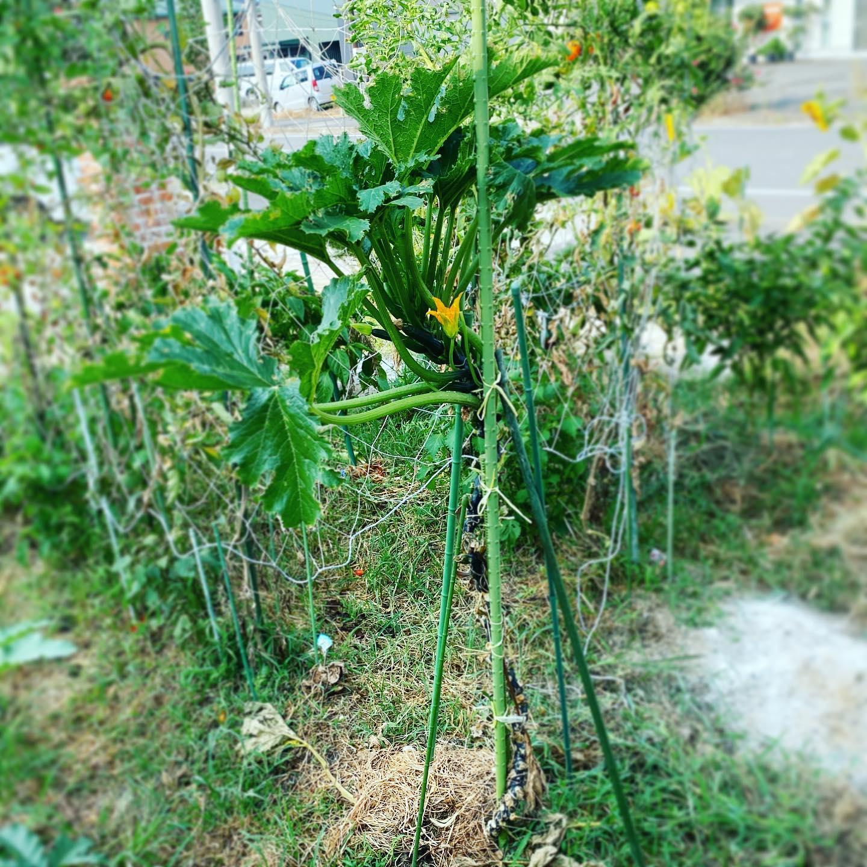 ズッキーニも今年は終了。3本植えましたがやっぱり2本は風で折られました。まあ高さと羽場が150cm近くあれば仕方ないかも。ただ折られない育て方を見つけたので、来年はやってみようと思います。もっと長く収穫したかったなぁ〜。