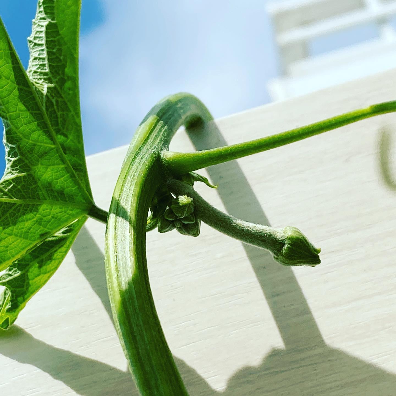 ヘチマの雌花は、ゆっくり待とう。 8月に入ってようやく雌花が出てきた。それまでは咲く花のほとんどが雄花。ヘチマの雌花はいつ咲くのか?そんな心配をしてしまいがちだが、焦っても咲かない。ひたすら待つしかない。しっかり育てば、しっかり実をつける。今年は一本を伸ばしてみているが、その長さは約6メートル。先には複数の雌花がツボミをつけている。焦らずじっくり待とう。