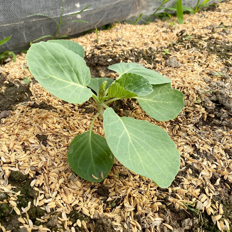 なかなか植えられなかったブロッコリーもようやく苗植えが完了。ポッドから定植すると途端に大きくしっかりと育ち始めますよね!