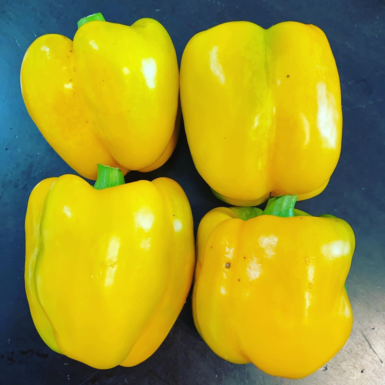 黄色いパプリカも収穫! 今年は赤と比べるとなかなか育ちが悪いですが、なんとか綺麗に色づきました。美味しそう!