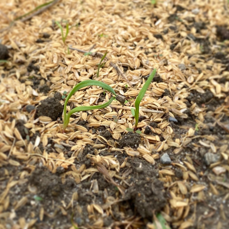 ほうれん草の発芽。もはや雑草と見分けしにくいですが、こんなにちっちゃくても根元が赤いんですよね〜