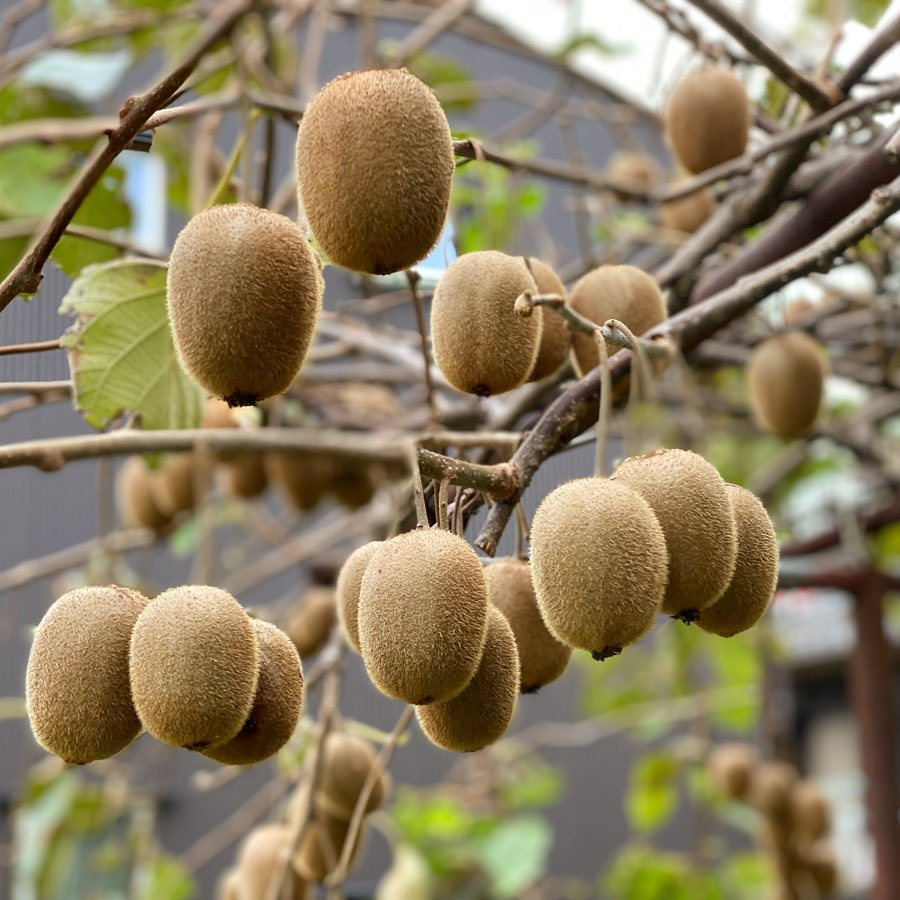 キウイが順調! 約100個ほどを確認! あと1か月(10月中旬)ほどで収穫し、1か月(11月)の追熟で食べられますね!楽しみ! #キウイフルーツ🥝