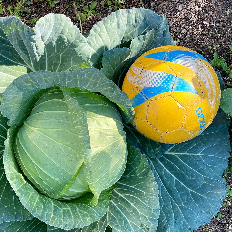 キャベツが食べごろ…過ぎたかしら!? 防虫ネットでもヨトウムシに狙われつつも、無農薬/有機で大きくなりました。