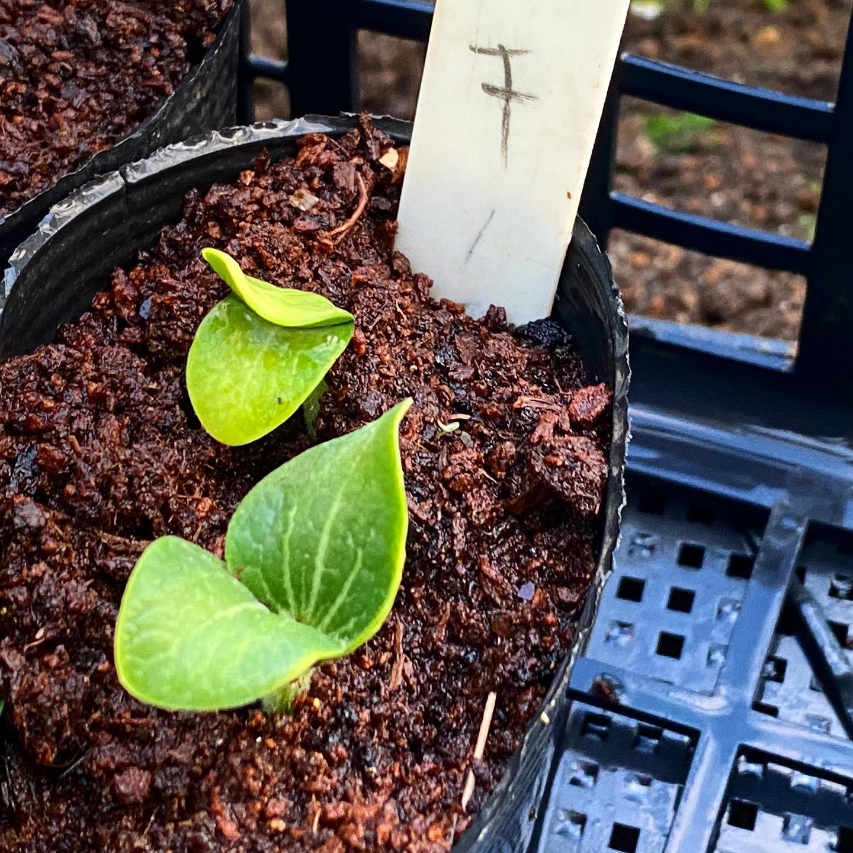 ズッキーニの発芽 初回の¥100で失敗してのホームセンターの種で再チャレンジ。発芽率高し!
