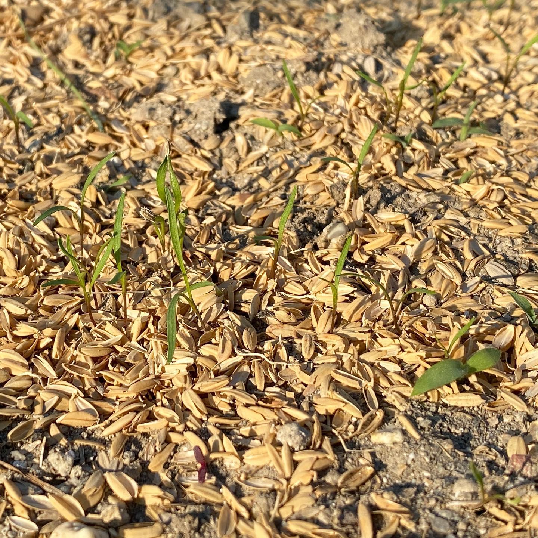 梅雨を狙って撒いたニンジンが発芽…全然雨が降らないですね 毎朝/夕方に頑張って水撒きしております。